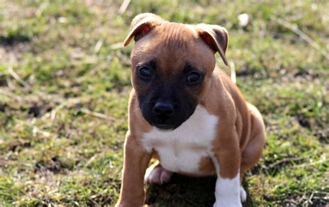 american bully phone desktop wallpapers pictures