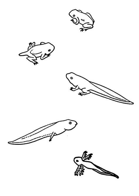 bricolage cuisine coloriage grenouille tetards sur hugolescargot com