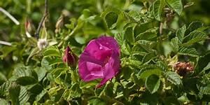 Rose In Kartoffel Anpflanzen : kartoffel rose rosa rugosa kamtschatka rose runzel ~ Lizthompson.info Haus und Dekorationen
