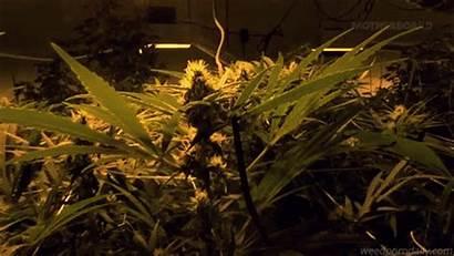 Cannabis Gifs Marijuana Kush Buds Growing Ganja