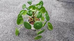Zimmerpflanze Weiße Blüten : unbekannte zimmerpflanze pilz infektion ufopflanze pflanzenkrankheiten sch dlinge ~ Markanthonyermac.com Haus und Dekorationen