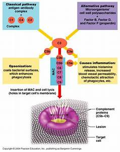 Ch21 A U0026p Immune System Flashcards