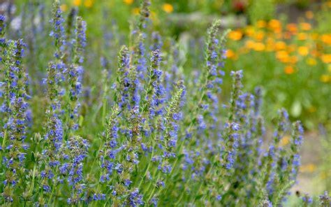 blau blühende pflanze ysop blau bl 252 hend pflanze hyssopus officinalis ysop xi xian cao yucca pflanzen