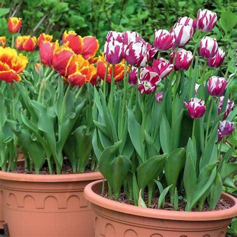 Tulpen Im Topf In Der Wohnung by Popular Tulpenzwiebeln Wann Pflanzen Sx15 Casaramonaacademy