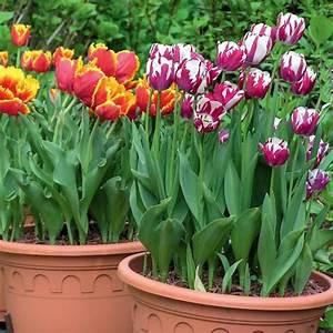 Tulpen Im Topf In Der Wohnung : blumenzwiebeln pflanzen pflege und tipps mein sch ner garten ~ Buech-reservation.com Haus und Dekorationen