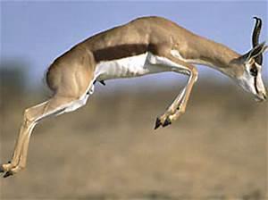 Vitesse Des Animaux : le springbok les animaux les plus rapides du monde ~ Medecine-chirurgie-esthetiques.com Avis de Voitures