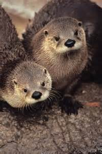 Cute River Otters
