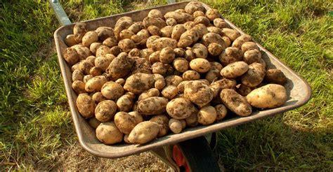 culture de la pomme de terre plantation buttage