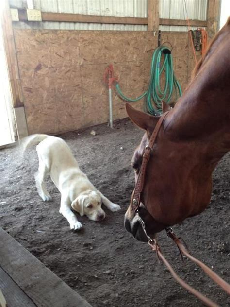 horse dog funny horses play dogs biggest animals week ever yellow lab lets january bows wanna seen cute luvbat dump