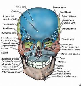 ORAL & MAXILLO-FACIAL SURGERY: Facial Bone Anatomy