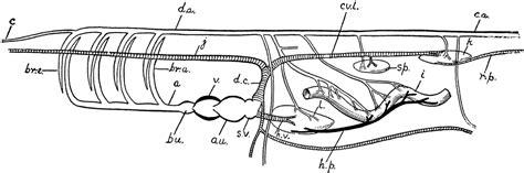 fish circulation vessels clipart