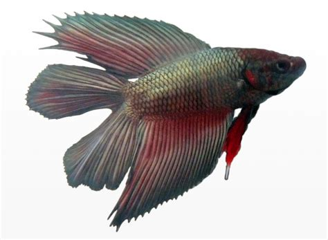 betta fish span file betta splendens male doubletail jpg wikipedia