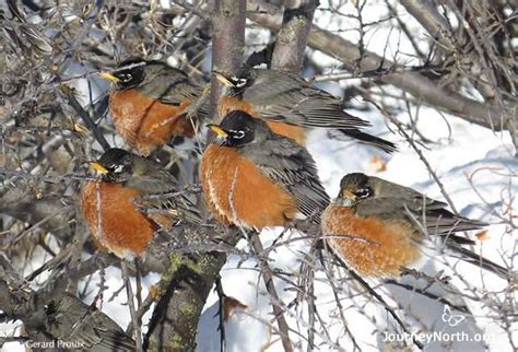 photo gallery what do robins eat in the wintertime