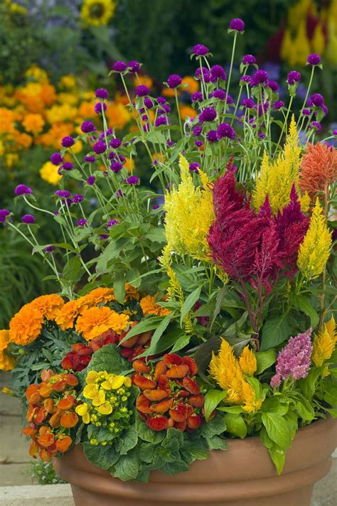 celosias are beautiful with these marigolds gomphrena and