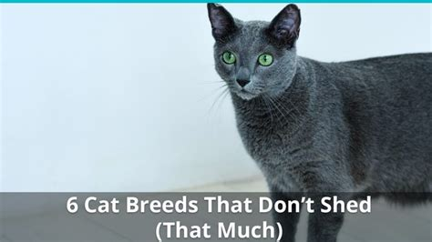 cat breeds that don t shed top 6 cat breeds that don t shed that much is there