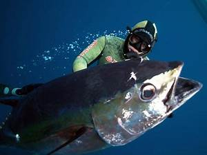 Paik Big Eye | This may be the largest Big Eye Tuna ever ...