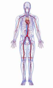What Are The Largest Blood Vessels In The Body