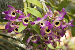 Growing Dendrobium Orchids and Cane