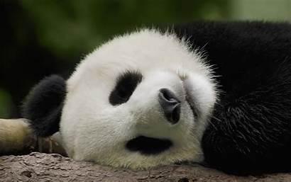 Panda Sleeping Animal Animals Pandas Sleep Wallpapers