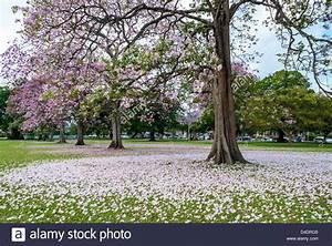 Beautiful Poui trees in the Queen's Park Savannah,Trinidad ...