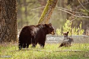 Black Bear Mama and Her Cubs