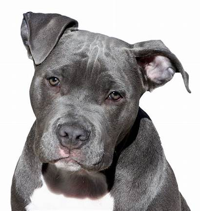 Pitbull Dog Face American Staffordshire Terrier Transparent