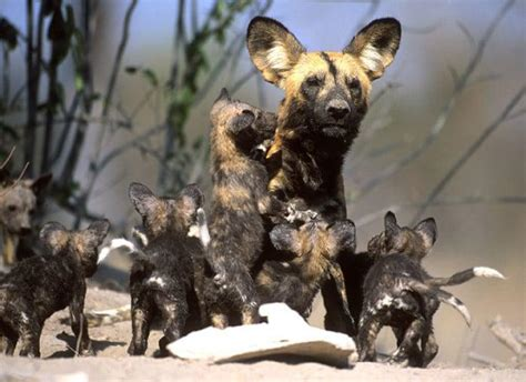 fascinating african wild dog facts
