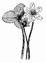 Liverwort Illustrations Clip Plants Botany Vector sketch template