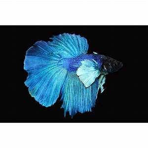 Elephant Ear Halfmoon Betta | My Pet Dreamboard ...