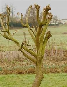 Taille Du Saule Pleureur : taille saule tortueux panneaux de jardin occasion ~ Melissatoandfro.com Idées de Décoration
