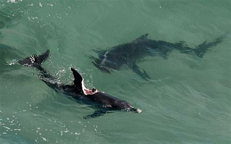 Fishing Boat Attacked By Shark South Africa by Gruesome Images Of Shark Attack On Dolphin As Beaches In
