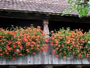 Wann Geranien Pflanzen : geranien pflanzen wachstum anlegen s en ernten ~ Lizthompson.info Haus und Dekorationen