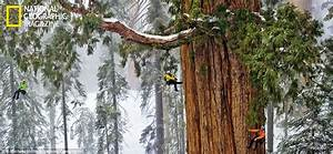 Giant sequoia: National Geographic pictures of giants of ...