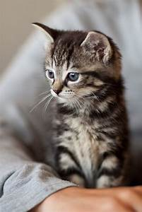Silver tabby kitten | A silver tabby kitten contemplates ...
