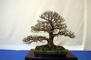 Bonsai Chinesische Ulme : feldulme ~ Frokenaadalensverden.com Haus und Dekorationen