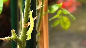 Chenille Verte Fluo : chenille de la noctuelle de la tomate verte fluo youtube ~ Nature-et-papiers.com Idées de Décoration