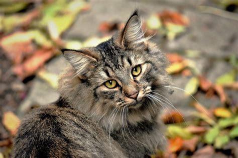 Propeller cat at the dungeon defenders 2 wiki desktop. Gato Montés - Temperamento, características ...