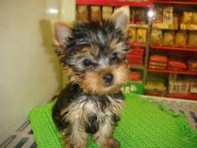 Free Teacup Yorkie Puppies for Adoption