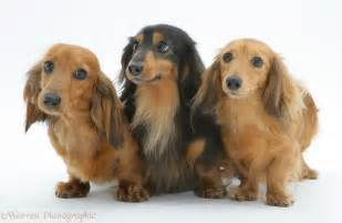 Adult Long Haired Miniature Dachshund
