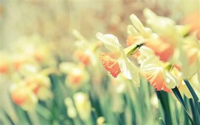 Romantic Desktop Backgrounds Daffodils Screensaver Wallpapersafari
