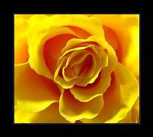 Gelbe Rose Bedeutung : rosen ~ Whattoseeinmadrid.com Haus und Dekorationen