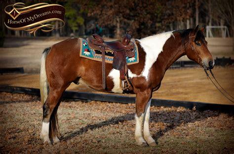 draft paint horse cross trail gelding beginner henry horses reno