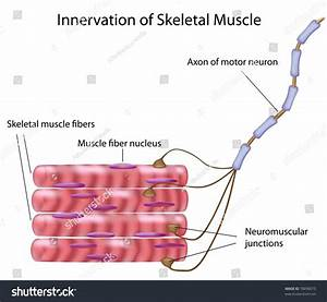 Skeletal Muscle Motor Neuron Motor Unit Stock Illustration 78690073