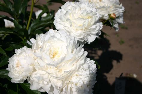 White Frost Parkland Peonies