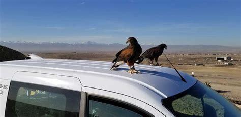 wings  coloradowings  colorado  falcon gallery
