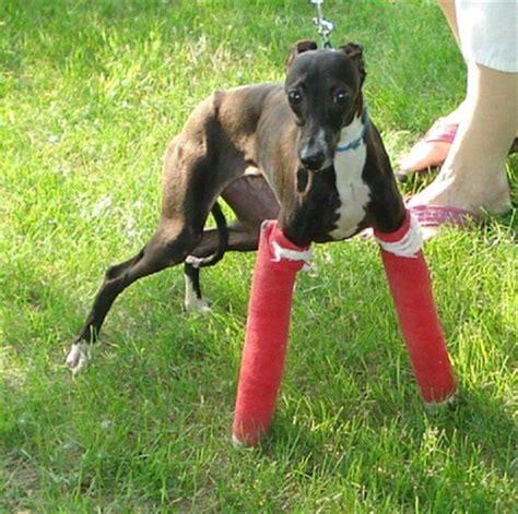 health  italian greyhound