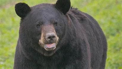 Bear Bruno Mate Social Star Horny Mile