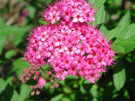 list of japanese flowers flowers of japanese spirea nature photo gallery