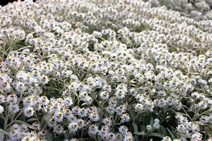 Blumen Für Sonnigen Standort : silbert ne im garten gartenzauber ~ Michelbontemps.com Haus und Dekorationen