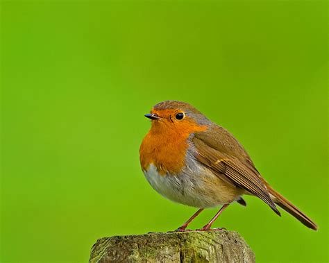 Robin Wallpaper And Background  1280x1024 Id455634